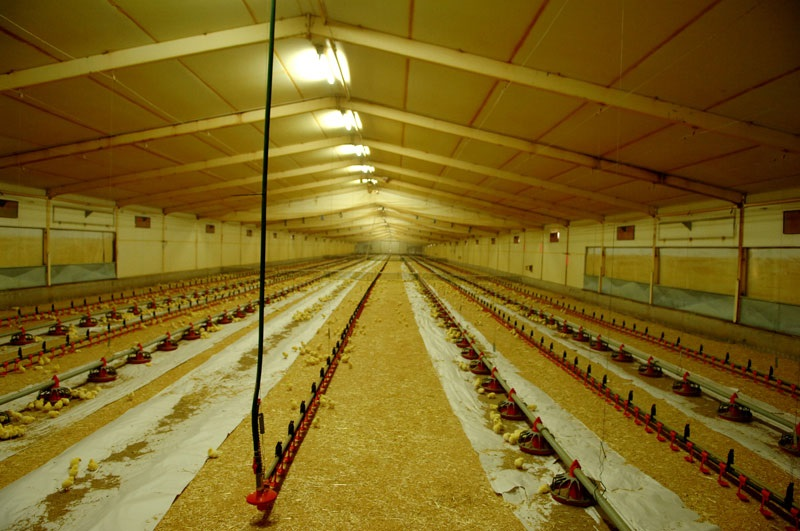 Broiler Breeding Poultry Business